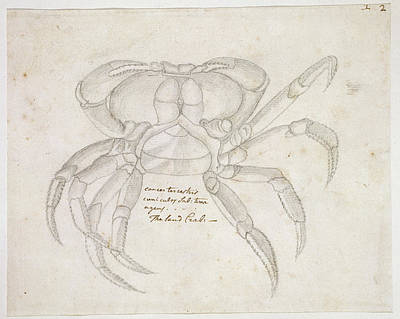 Land Crab Art Print by Natural History Museum, London