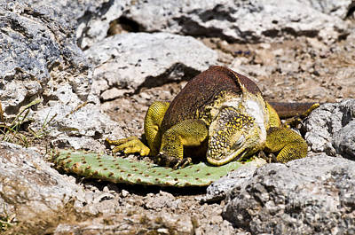Land Iguana Photograph - Land Iguana by William H. Mullins