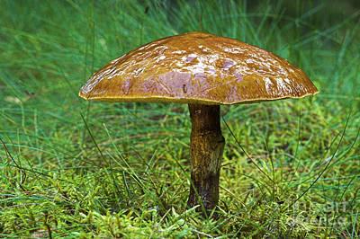 Photograph - Larch Bolete Fungus Suillus Grevillei by Duncan Shaw