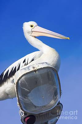 Photograph - Large Australian Pelican by Jorgo Photography - Wall Art Gallery