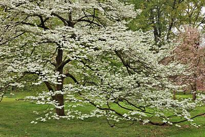 Audubon Park Photograph - Large Dogwood Tree In Full Bloom by Adam Jones