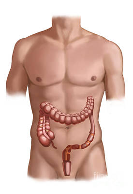 Male Nude Drawing Photograph - Large Intestine by Spencer Sutton