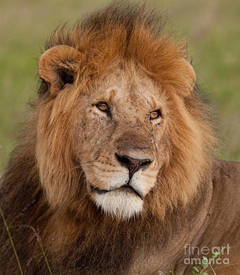 Photograph - Large Male Lion by Mark Boulton