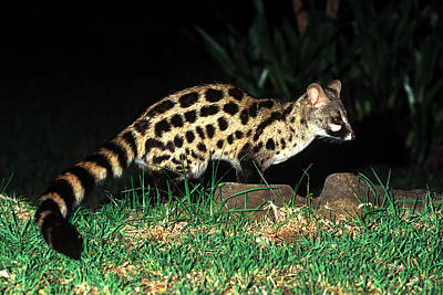 Photograph - Large-spotted Genet by Millard H. Sharp