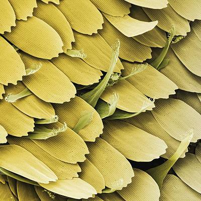 Large White Butterfly Scent Scales, Sem Print by Power And Syred