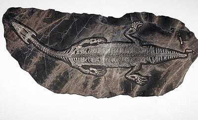Triassic Photograph - Lariosaurus Fossil by Dirk Wiersma