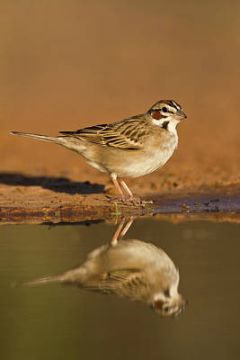 Lark Sparrow (chondestes Grammacus Art Print by Larry Ditto