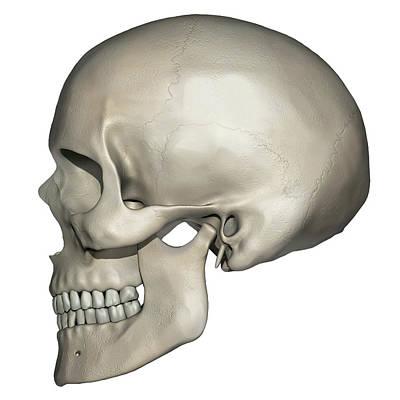 Mental Process Photograph - Lateral View Of Human Skull Anatomy by Alayna Guza