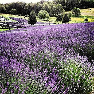 Florals Photograph - Lavender Farm Landscape by Christy Beckwith