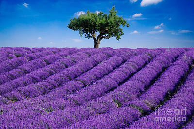 Provence Photograph - Lavender Field And Tree by Matteo Colombo
