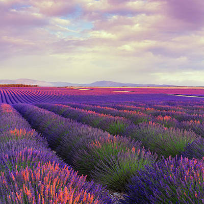 Plant Photograph - Lavender Field At Dusk by Mammuth