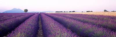 Lavender Fields Photograph - Lavender Field, Plateau De Valensole by Panoramic Images