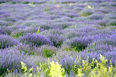 Photograph - Lavender Fields  South France by Phoenix De Vries
