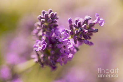 Photograph - Lavender by Gry Thunes