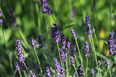 Photograph - Lavender by Michael Saunders