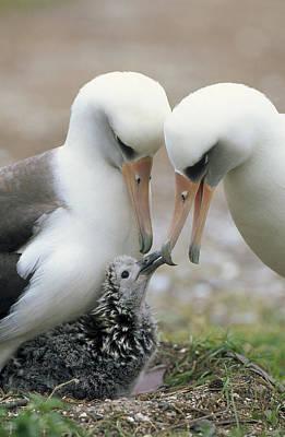 Laysan Albatross Parents Exchanging Art Print by Tui De Roy