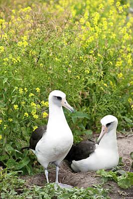 Bonding Photograph - Laysan Albatross (phoebastria by Daisy Gilardini