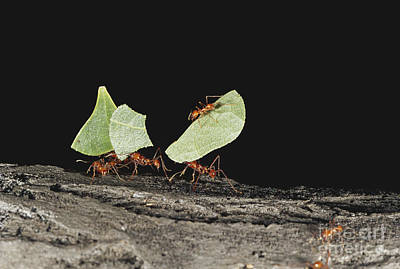 Leaf-cutter Ant Photograph - Leaf-cutting Ants by Art Wolfe