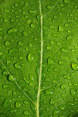 Leaf Dew Drop Number 12 Original by Steve Gadomski
