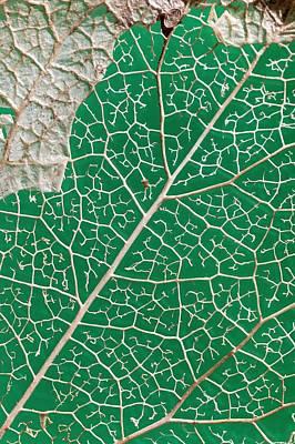 Leaf Skeleton Of Ivy (hedera Helix) Art Print by Dr Jeremy Burgess