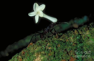 Leaf-cutter Ant Photograph - Leafcutter Ant by Gregory G. Dimijian