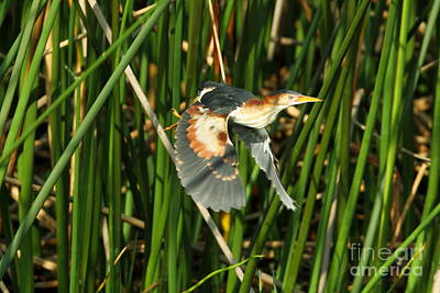 Photograph - Least Bittern by Jennifer Zelik