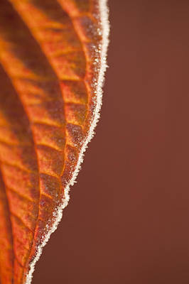 Photograph - Leaves Backlit With Frost by Jim Corwin