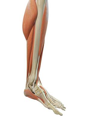 Leg And Foot Muscles Art Print by Sciepro