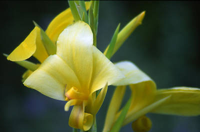 Photograph - Lemon Lily by Denise Wagner