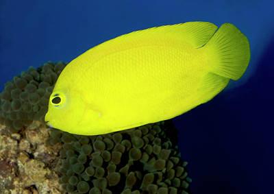 Angelfish Photograph - Lemonpeel Angelfish by Nigel Downer