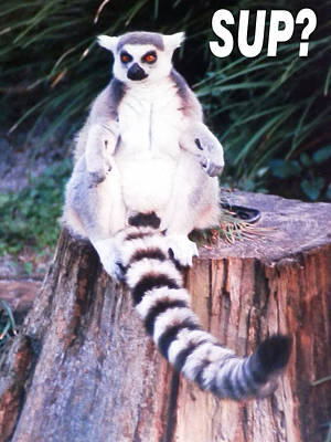 Photograph - Lemur Sup? by Belinda Lee