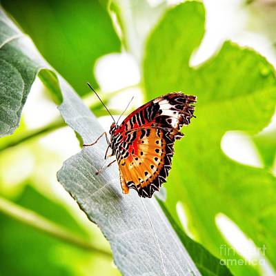 Lace Photograph - Leopard Lacewing Butterfly by Jane Rix