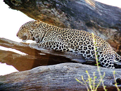 Photograph - Leopard by Tony Murtagh