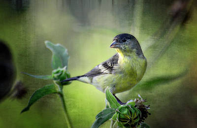 Photograph - Lesser Goldfinch  by Saija  Lehtonen