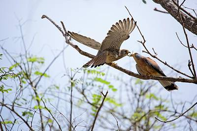 Birds Of Israel Photograph - Lesser Kestrel Falco Naumanni by Photostock-israel