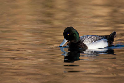 Lesser Scaup Photograph - Lesser Scaup (aythya Affinis by Larry Ditto