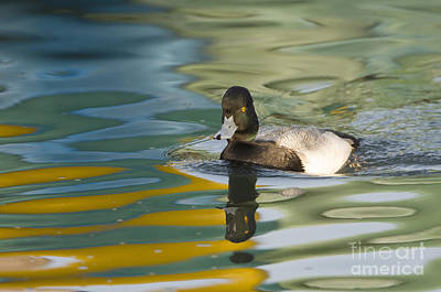 Lesser Scaup Photograph - Lesser Scaup by John Shaw