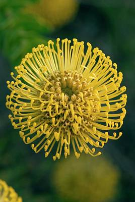 Pincushion Photograph - Leucospermum Cordifolium 'yellow Bird' by Adrian Thomas