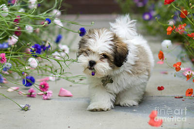 Naughty Dog Photograph - Lhasa Apso Puppy by Ruth Black