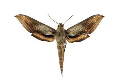 Specimen Photograph - Libya Sphinx Moth by F. Martinez Clavel