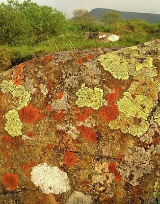 Crustose Photograph - Lichen Growing On Rock In Unpolluted Air by Cordelia Molloy