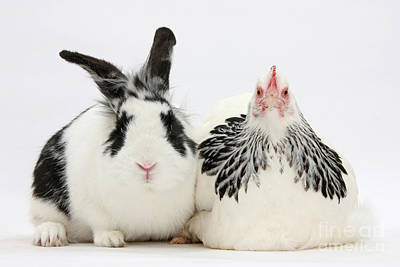 Photograph - Light Sussex Bantam Hen And Rabbit by Mark Taylor