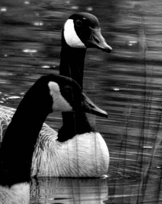Photograph - Lila Goose And The King 1b by Lesa Fine