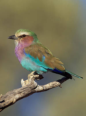 Photograph - Lilac-breasted Roller by Nigel Dennis