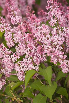 Photograph - Lilacs by Bernard Lynch