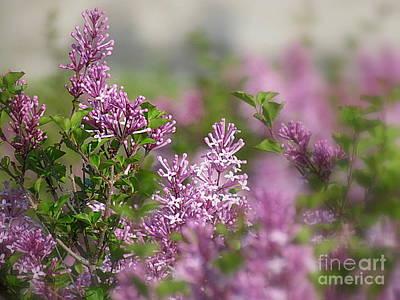 Photograph - Lilacs by France Laliberte