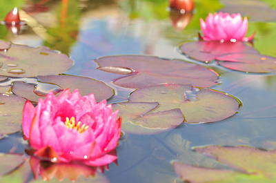 Photograph - Lilly Pads  by Puzzles Shum