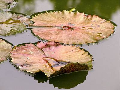Photograph - Lily Pads by Jennifer Wheatley Wolf