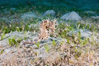 Seahorse Photograph - Lined Seahorse by Andrew J. Martinez