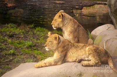 Lion Cubs Print by Mandy Judson